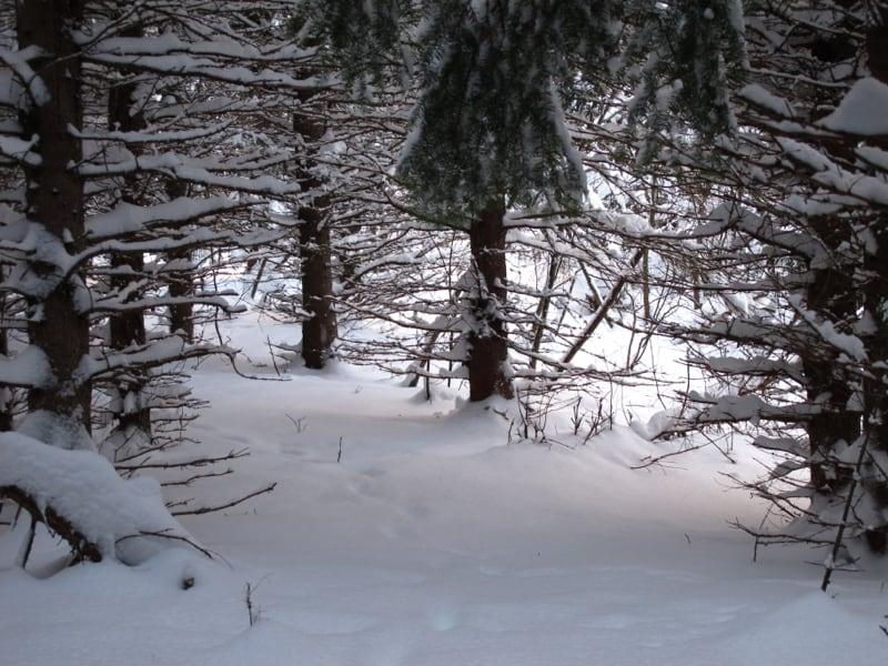 Heavy snow even in the dense balsam fir plantation.