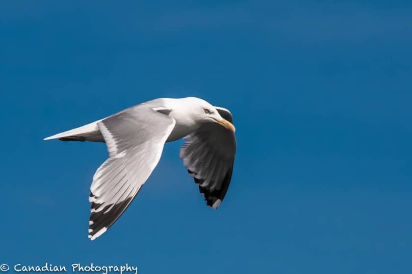Seagull from my 2014 trip to the Tadoussac area.
