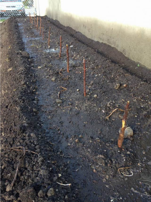 Raspberries planted.